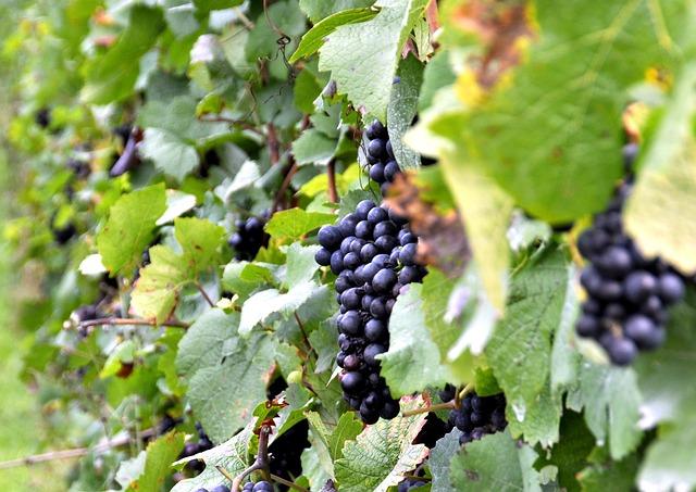 ¿Cuáles son los factores de calidad de un viñedo?
