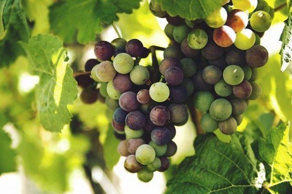 grapes-1246531_640