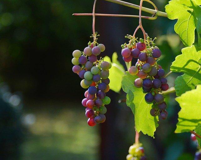 Elaboración de un vino